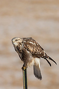 Light phase rough-legged hawk perched on fencepost
