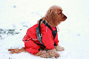 This is Liesl, a 6.5 month-old show type golden cocker spaniel, wrapped up in waterproof coat for the snow.