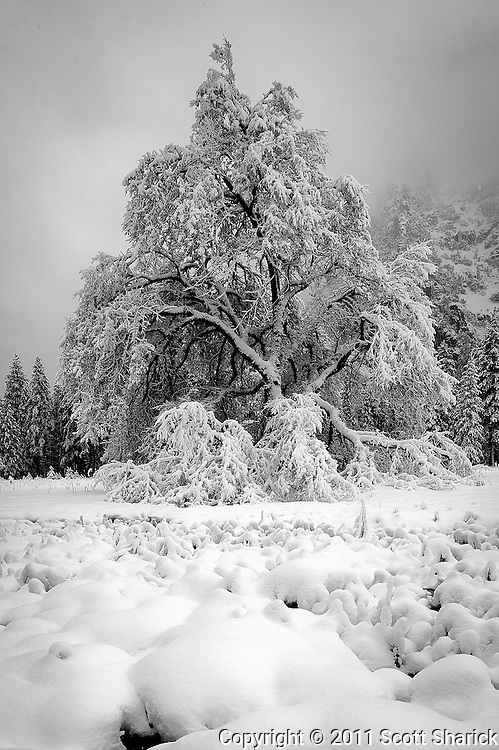 It is hard to believe that all the snow from yesterday melted off this tree and this is all new snow from overnight.