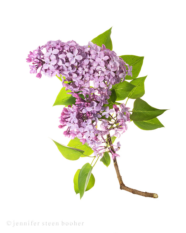 Flowers of heirloom lilac shrub (Syringa vulgaris)