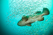 Goliath Grouper, Epinephelus itajara, and Cigar Minnows, Decapterus punctatus, swim near the shipwreck of the Mispah offshore Singer Island, Florida, United States. Fish displaying white breeding coloration.