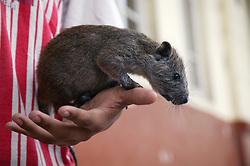 Pet Jutia in Havana on young man's hand,