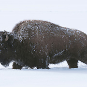American bison (Bison bison) in Yellowstone National Park.