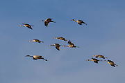Several sandhill cranes (Grus canadensis) fly in formation as they prepare to land in the Bosque del Apache National Wildlife Refuge in New Mexico.