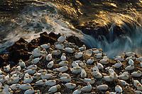 21.05.2008.Northern gannet (Morus bassanus) colony.Seabird cliff.Langanes peninsula, Iceland