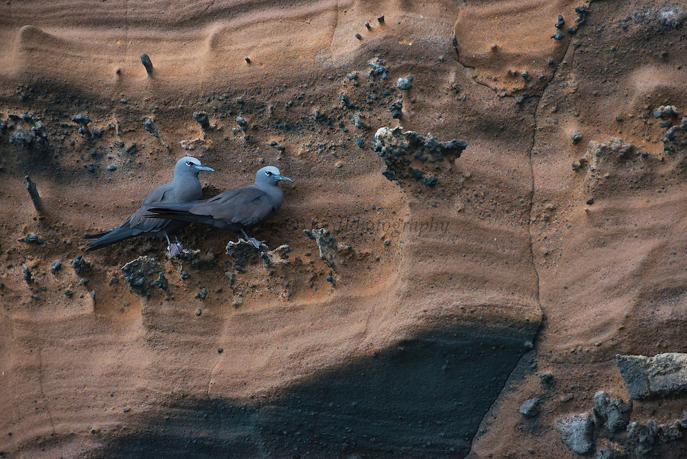 Brown Noddy(Anous stolidus galapagensis)<br /> GALAPAGOS ISLANDS,<br /> ECUADOR.  South America<br /> ENDEMIC SUBSPECIES