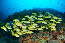 Lutjanus kasmira, Blaustreifen Schnapper, Common Bluestripe snapper, Malediven, Indischer Ozean, Baa Atoll, Maldives, Indian Ocean