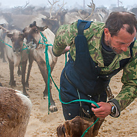 North of the Arctic Circle in Russia, Piotr Terentév, a nomadic Komi reindeer herder, drags a string of reluctant reindeer from a temporary pen to pull his mother's sleds.