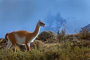 Guanaco at Parque Nacional Torres del Paine, Chile, South America