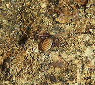 False Scorpion - order Pseudoscorpionida