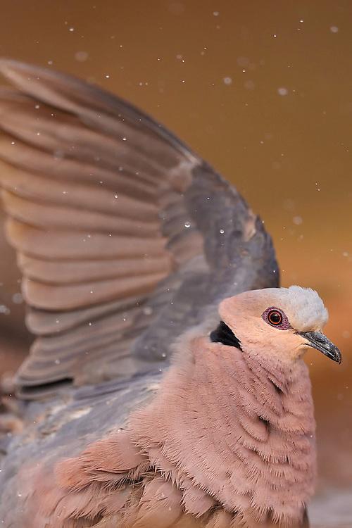Red-eyed Dove, Streptopelia semitorquata, Zimanga Private Nature Reserve, KwaZulu Natal, South Africa