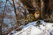 Japanese red fox (Vulpes vulpes japonica), Hokkaido, Japan