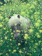 Fairfax, VA A pony in a field of poppies.<br />Photo by Dennis Brack