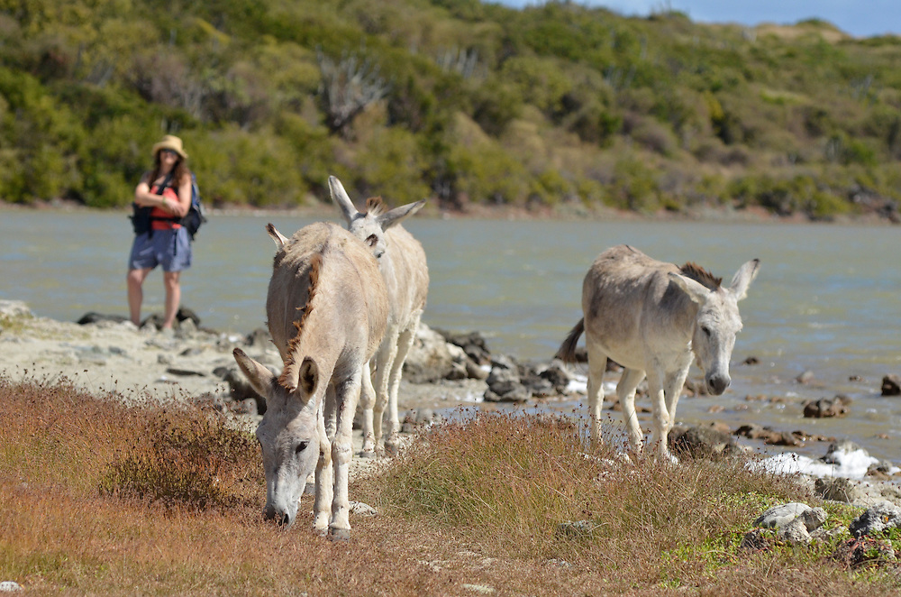 Hiker watching feral burros at Salt Pond, Virgin Islands National Park, St. John, U.S. Virgin Islands.