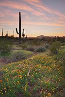 Saguaro Cactus (Carnegiea gigantea) at sunset, Organ Pipe Cactus National Monument Arizona