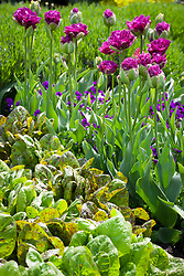 Tulipa 'Purple Tower' with Viola 'Martin' and Cos Lettuce 'Freckles'