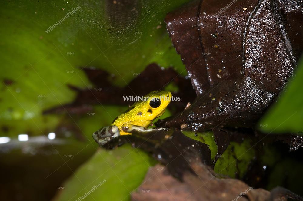"The yellow-green and brown Strawberry Poison Dart Frog (Oophaga pumilio, ""Isla Colón""), Bocas del Toro, Colon Island, Panama"