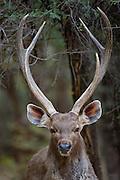 Indian Sambar, Rusa unicolor, male deer in Ranthambhore National Park, Rajasthan, India