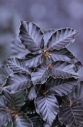 Copper beech. Fagus sylvatica f. purpurea