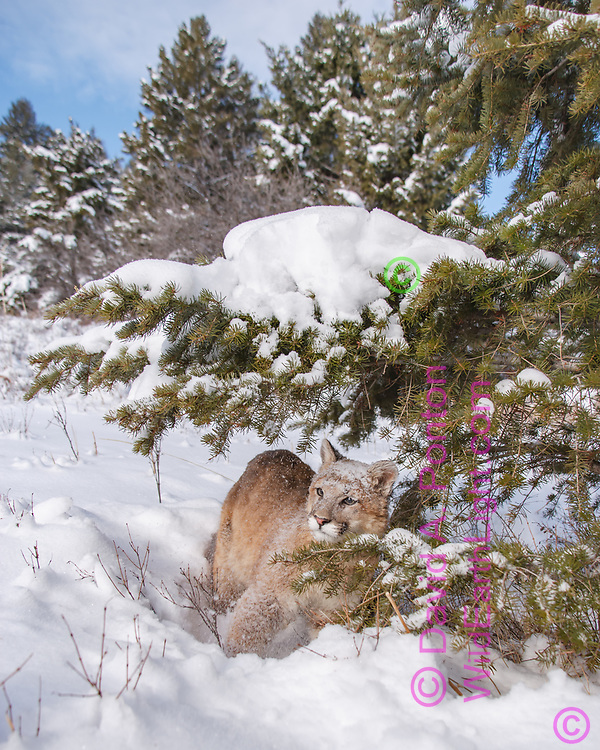 Young mountain lion exploring underneath conifer tree ladened with new snow reacts to being sprinkled with snow when he bumped the branch, © David A. Ponton