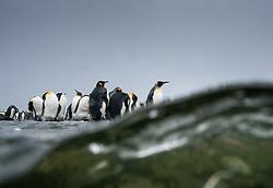 King penguin (Aptenodytes patagonicus) in South Georgia