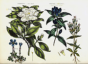 Gardenia, Cape Jasmine [Here as Cape Jasmin] and Gentiana saponaria [Soapwort-leaved Gentian] from Vol 1 of the book The universal herbal : or botanical, medical and agricultural dictionary : containing an account of all known plants in the world, arranged according to the Linnean system. Specifying the uses to which they are or may be applied By Thomas Green,  Published in 1816 by Nuttall, Fisher & Co. in Liverpool and Printed at the Caxton Press by H. Fisher