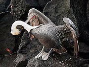 A Galapagos Brown Pelican (Pelecanus occidentalis, subspecies: urinator) preens feathers at Suaraz Point, a wet landing location on Española (Hood) Island, Galapagos Islands, Ecuador, South America. The Brown Pelican species lives strictly on coasts from Washington and Virginia south to northern Chile and the mouth of the Amazon River. Some immature birds may stray to inland freshwater lakes. Although large for a bird, the Brown Pelican is the smallest of the eight species of pelican. Adults are 106-137 cm (42-54 inches) in length, weigh from 2.75 to 5.5 kg (6-12 pounds), and have a wingspan from 1.83 to 2.5 m (6 to 8.2 feet). After nesting, North American birds move in flocks further north along the coasts, returning to warmer waters for winter. Their young are hatched in broods of about 3, and eat around 150 pounds of fish in the 8-10 month period they are cared for. The Brown Pelican bird differs from the American White Pelican by its brown body and its habit of diving for fish from the air, as opposed to cooperative fishing from the surface. It eats mainly herring-like fish. The nest location varies from a simple scrape on the ground on an island to a bulky stick nest in a low tree. Pelicans can live more than 30 years.
