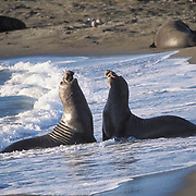 Northern Elephant Seal, (Mirounga angustirostris)  Males challenging each other on beach.California.
