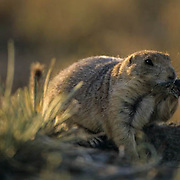 Black-tailed Prairie Dog, (Cynomys ludovicians) Adult. Montana.