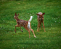 Spots, the young Fawn in my Backyard.. Image taken with a Leica SL2 camera and 55-135 mm lens