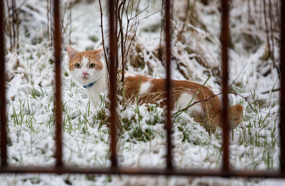Snowfall in Glasgow this morning.  A cat hunting in a derelict school, in the snow in Cranhill in Glasgow's East End. Picture Robert Perry 17th Feb 20<br /> <br /> Please credit photo to Robert Perry<br /> <br /> FEE PAYABLE FOR REPRO USE<br /> FEE PAYABLE FOR ALL INTERNET USE<br /> www.robertperry.co.uk<br /> NB -This image is not to be distributed without the prior consent of the copyright holder.<br /> in using this image you agree to abide by terms and conditions as stated in this caption.<br /> All monies payable to Robert Perry<br /> <br /> (PLEASE DO NOT REMOVE THIS CAPTION)<br /> This image is intended for Editorial use (e.g. news). Any commercial or promotional use requires additional clearance. <br /> <br /> Copyright 2016 All rights protected.<br /> first use only<br /> contact details<br /> Robert Perry     <br /> 07702 631 477<br /> robertperryphotos@gmail.com<br />   <br /> Robert Perry reserves the right to pursue unauthorised use of this image . If you violate my intellectual property you may be liable for  damages, loss of income, and profits you derive from the use of this image.