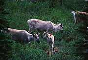 Caribou cows with calf, Rangifera arcticus, Mulchatna Herd, tundra near Lower Twin Lake, Lake Clark National Park, Alaska.