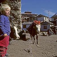 NEPAL, Himalaya. Ben Wiltsie, age 3 (MR) beside dzos (yak-cattle cross) at Tengboche Monastery, Khumbu Region (Sherpa). 22,494' Ama Dablam bkg. Photo shot in 1986. Monastery burned in 1989 and was rebuilt.