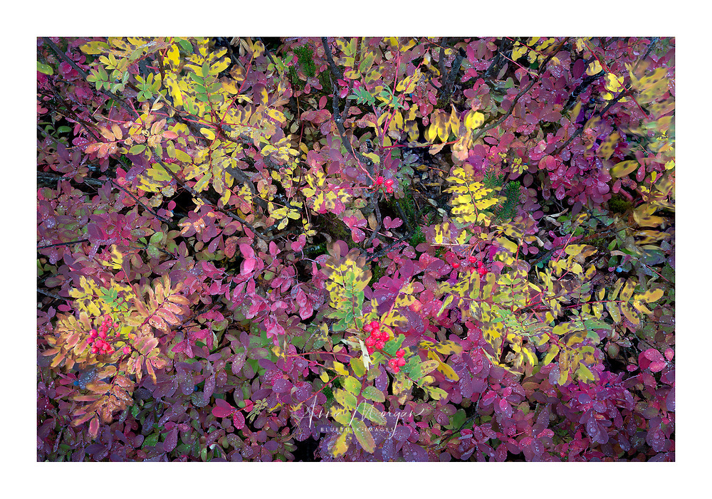 Colorful leaves of huckleberry and mountain ash with red berries in autumn around North Cascades National Park, Washington