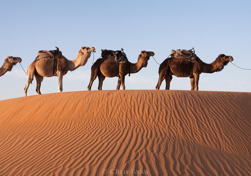 Camel train in sand dunes near Merzouga, Sahara Desert, Morocco