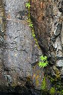 Maidenhair Ferns on the Englishman River canyon walls in Englishman River Falls Provincial Park, British Columbia, Canada