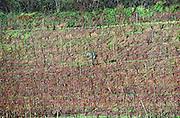 Man pruning a vineyard in winter. Bonnezeaux. Coteaux du Layon, Anjou, Loire, France