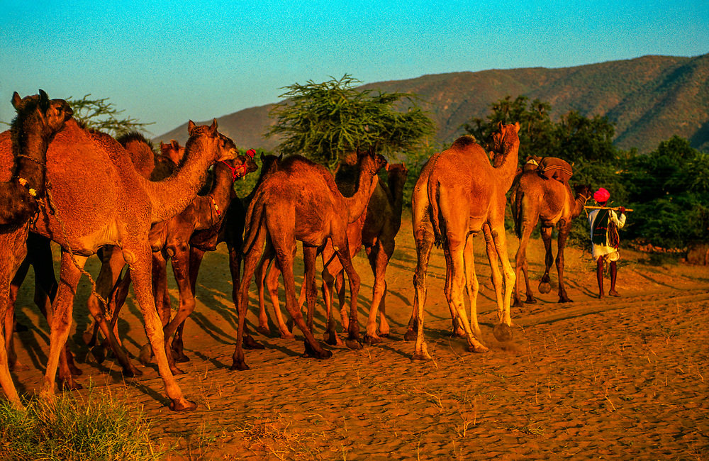 Pushkar Camel Fair, Pushkar, Rajasthan, India