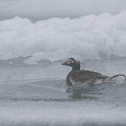 Long-tailed duck amongst the ice near Elu Inlet, Nunavut, Canada-tailed duck amongst the ice near Elu Inlet, Nunavut, Canada