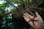 Venezuela_VEN, Venezuela...Regiao de Manguezal na Venezuela. Na foto uma estrela do mar(Pisaster ochraceus)...Mangrove region in Venezuela. In the photo a starfish (Pisaster ochraceus)...Foto: JOAO MARCOS ROSA / NITRO