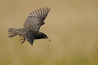 Starling (Sturnus vulgaris) in flight, Star fliegend, near Nikopol, Bulgaria