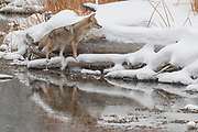 A coyote (Canis latrans) climbs up onto a snow-covered log after crossing a shallow portion of the Madison River in Yellowstone National Park, Wyoming.