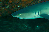 """Whitetip Reef Shark (Triaenodon obesus)<br /><br />Canales de Afuera Islands<br />Coiba National Park<br />Panama<br /><br />""""buffet"""" dive site"""
