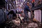 """""""Maria Behety"""" sheep farm outside the city of Rio Grande. The beginning of the shearing season. Here 45.000 head of sheep are in the process of being sheared in the world's largest shearing shed ( galpon de esquila) over a two week period."""