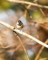 Black-capped Chickadee (Poecile atricapillus). Image taken with a Nikon D2xs camera and 80-400 mm VR lens.