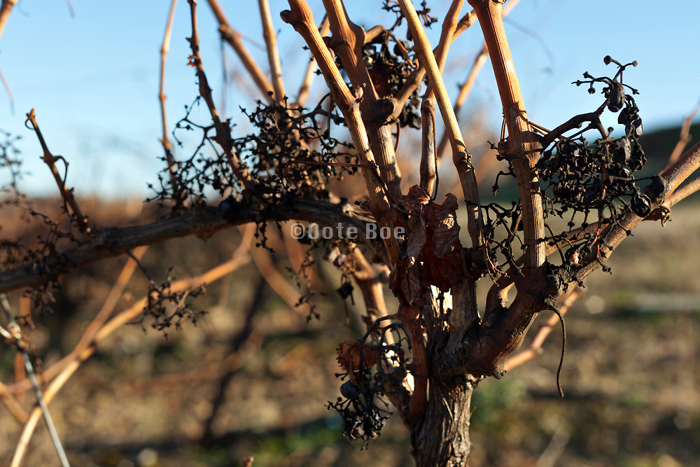 close up of a grapevine after harvesting