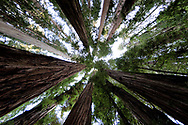 Redwoods stand tall in Jedidiah Smith Redwoods State Park, California