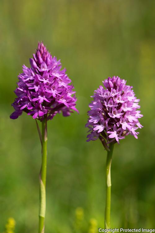 Pyramid Orchid, Anacamptis pyramidalis, Park Gate Down, Kent Wildlife Trust, UK