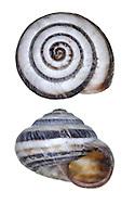 Banded Snail - Cernuella virgata