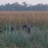 Illegal migrants walk in a corn field  to evade police detention next to the railway racks that led them through an opening on the razor wire fence on the border between Hungary and Serbia near Roszke (about 174 km South of capital city Budapest), Hungary on September 01, 2015. ATTILA VOLGYI
